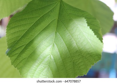 Fresh and green leaves. Herb background. Nature