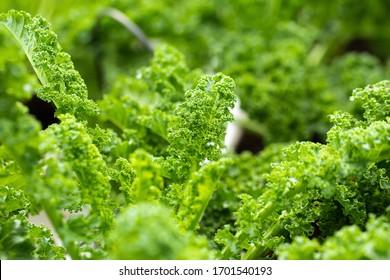 Fresh green leaves of Kale. Green vegetable leaves plant.