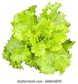 Fresh green leaves of lettuce isolated