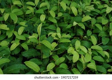 fresh green leaves in the morning of spring season.