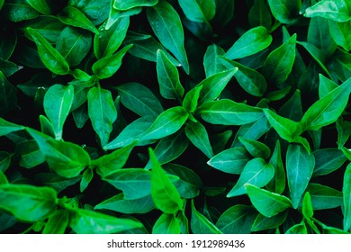 Fresh green leaves for the natural background and wallpaper.Green leaves texture background.Tropical leaves.