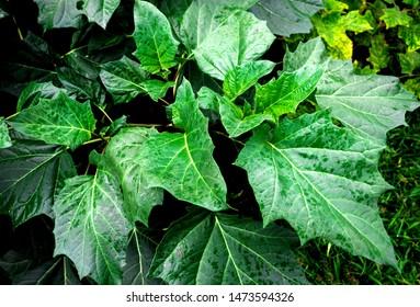 Fresh green leaves pattern of Datura Stramonium, Thorn Apple, Apple of Peru, Green Thorn Apple, Hindu Datura (Datura Metel) on tree in the garden