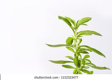 Fresh green leaves stevia - Stevia rebaudiana. White background