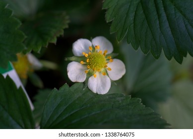 fresh green leaves and a strawberry flower