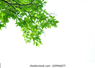 Fresh green leaves and white background.
