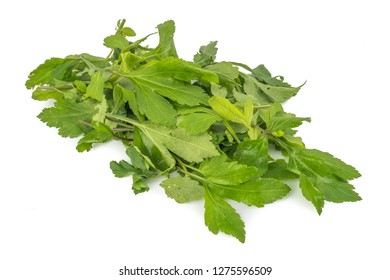 fresh green leaves White mugwort (Artemisia lactiflora, Guizhou) isolated on white background. herbal medicine inhibited or slowed growth of cancer cells Help prevent cancer