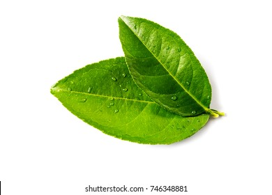 fresh green lemon leaves isolated on white background.lime leaf and green herbs Thailand.