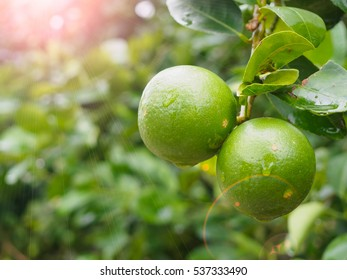 Fresh green lemon or Lime tree with green leafs and fruits closeup with Lens Flare or sunspot
