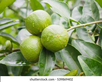 Fresh green lemon or Lime tree with green leafs and fruits closeup