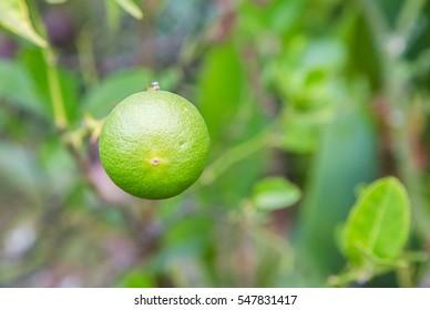 fresh green lemon or lime tree in garden