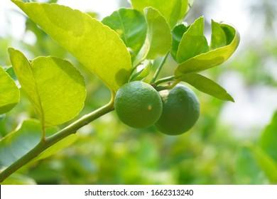 Fresh green lemon on the tree