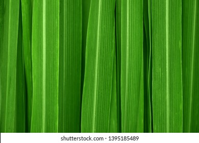 Fresh green lemongrass leaves background full frame.