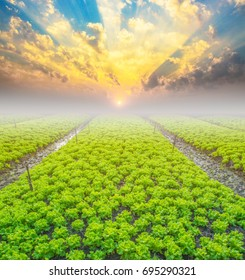 fresh green lettuce farm in morning with beautiful sunrise