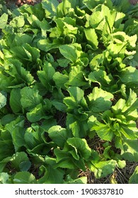 Fresh green lettuce Free from toxins, naturally grown from my vegetable garden.