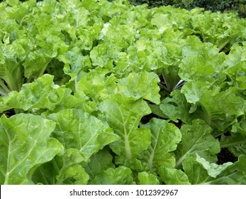 Fresh green lettuce salad vegetable in the garden