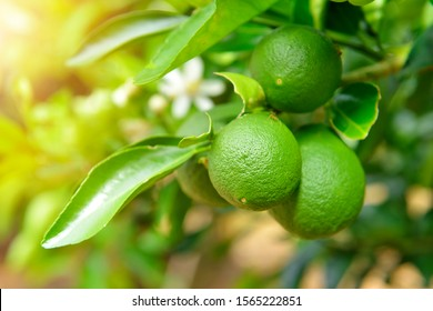 Fresh green lime fruit hanging from branch. Lime tree garden and healthy food concept.