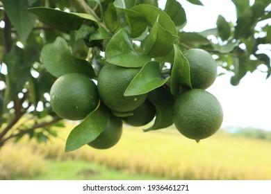 Fresh Green Lime Fruit on Tree