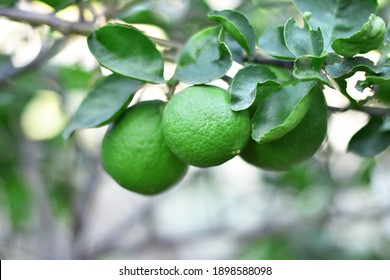 fresh green limes on its tree with green leaves and blurred background