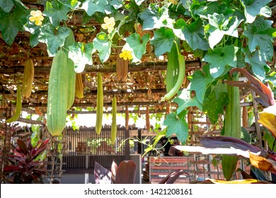 fresh green loofah, vegetable sponge, gourd towel. The growing vegetables with bamboo frames