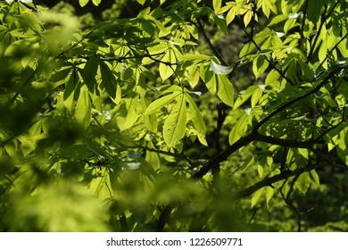 Fresh green of Magnolia obovata
