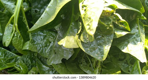 Fresh Green Malabar Nightshade Background.
