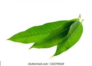 Fresh Green Mango leaves isolated on white background.