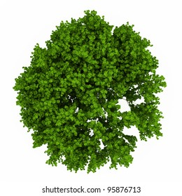 Fresh green maple tree isolated over white