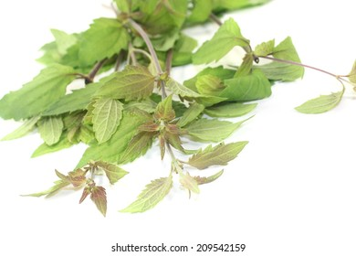 fresh green Mexican dream herb on a light background