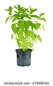 Fresh green mint in black plastic pot isolated on white background