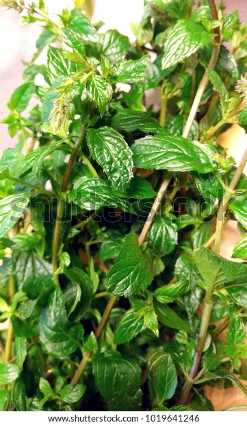 Fresh green mint with bright leaves