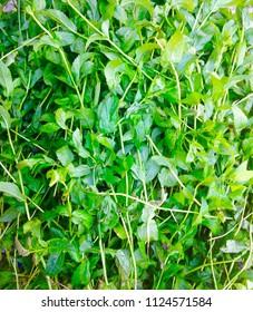 Fresh green mint leaves in daylight