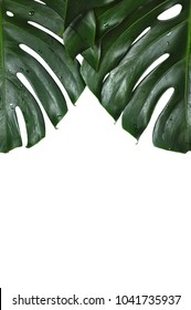 The fresh green Monstera deliciosa (or Swiss Cheese plant/Hurricane Plant) leaves isolated on white color background with space for text.