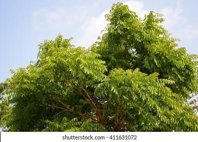 fresh green neem plan tree in nature garden , azadirachta indica