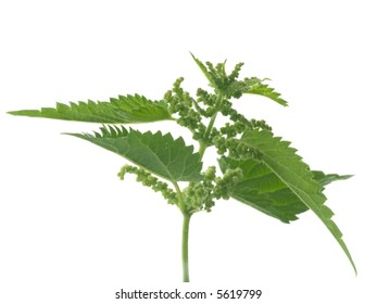 fresh and green nettle isolated on white background - series herb