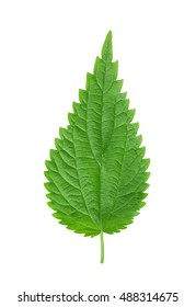 Fresh green nettle leaf isolated on white background
