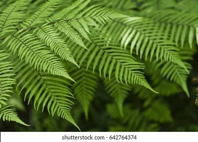 Fresh green New Zealand fern background