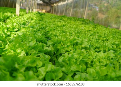 Fresh green oak lettuce salad growing in the garden / Hydroponic farm salad plants agriculture in the greenhouse organic vegetable hydroponic system , selective focus