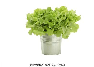 Fresh green oak lettuce salad in pot