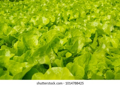 Fresh Green Oak Salad Lettuce Vegetable growing in Plastic Pipe in Hydroponic Organic Agricultural System Farming or Garden Plantation under Morning Sunshine in Asian as Modern Agriculture production
