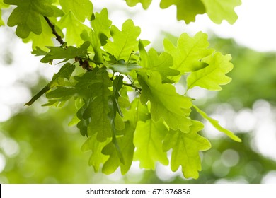 Fresh green oak tree leaves over white background. Natural close-up vertical photo with selective focus
