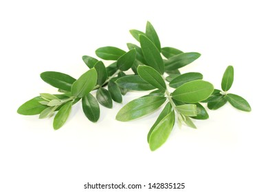fresh green olive branches on a bright background