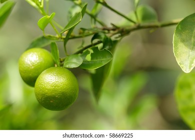 fresh green oranges on tree in malaysian orchard