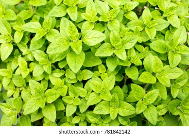 Fresh green oregano leaves on whole surface
