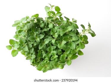 Fresh green oregano plant on white