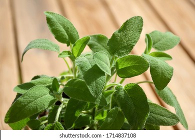 Fresh green organic sage (salvia) herb leaves in plant box with soil from gardening shop on wooden table, ready for planting in the garden/yard or container (plant pot) in urban balcony, close-up food