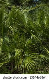Fresh green palmtree leaves background
