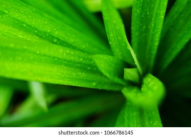 fresh green pandan leaf with water drop
