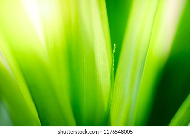 Fresh green pandan leaves with copy space, blurred bokeh and sunshine background in a garden, nature concept.