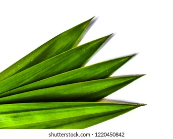 fresh green pandan leaves isolated on white background
