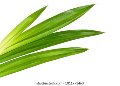 Fresh green Pandan (screwpine) leaves isolated on white background
